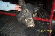 Arkansas Wild Hog